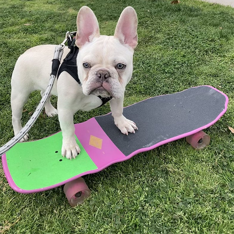 French Bulldog with Paws on Skateboard | Taste of the Wild