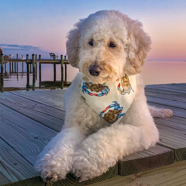 Goldendoodle Lying on a Dock | Taste of the Wild