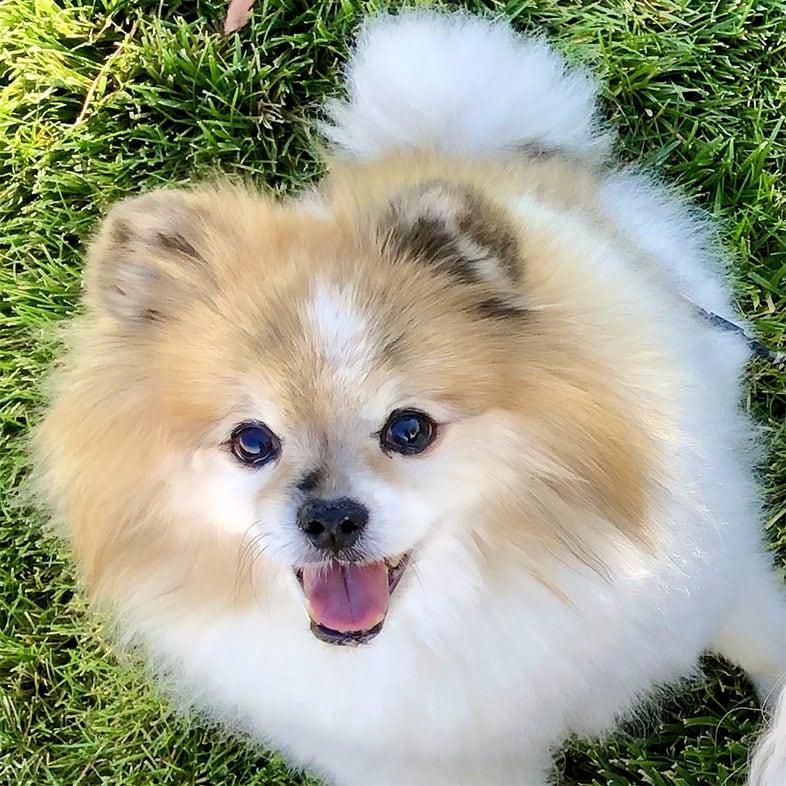 Shiba Inu Spitz Dog Looking Up | Taste of the Wild