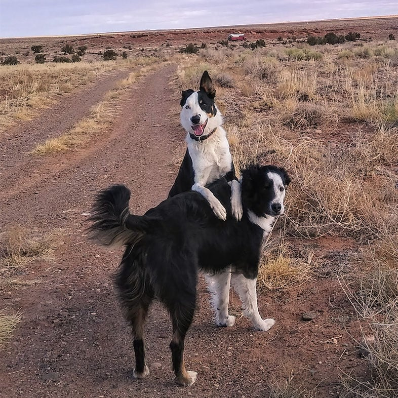 Two Border Collies Posing Outside | Taste of the Wild