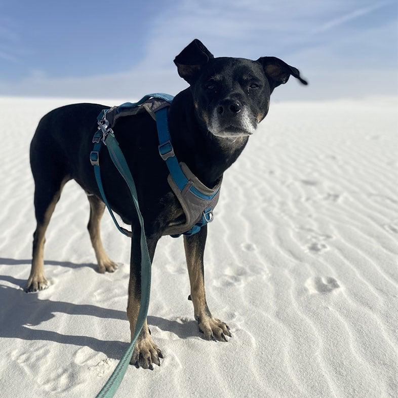 Catahoula Beagle Mix at Sand Dunes | Taste of the Wild