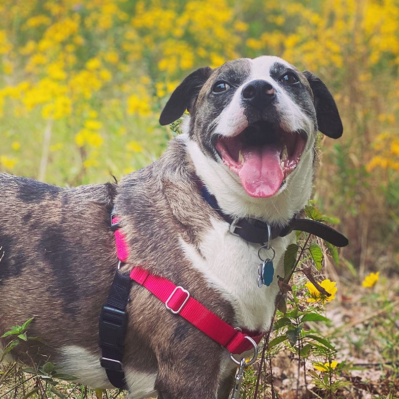 Mountain Cur Dog on a Trail with Mouth Open | Taste of the Wild