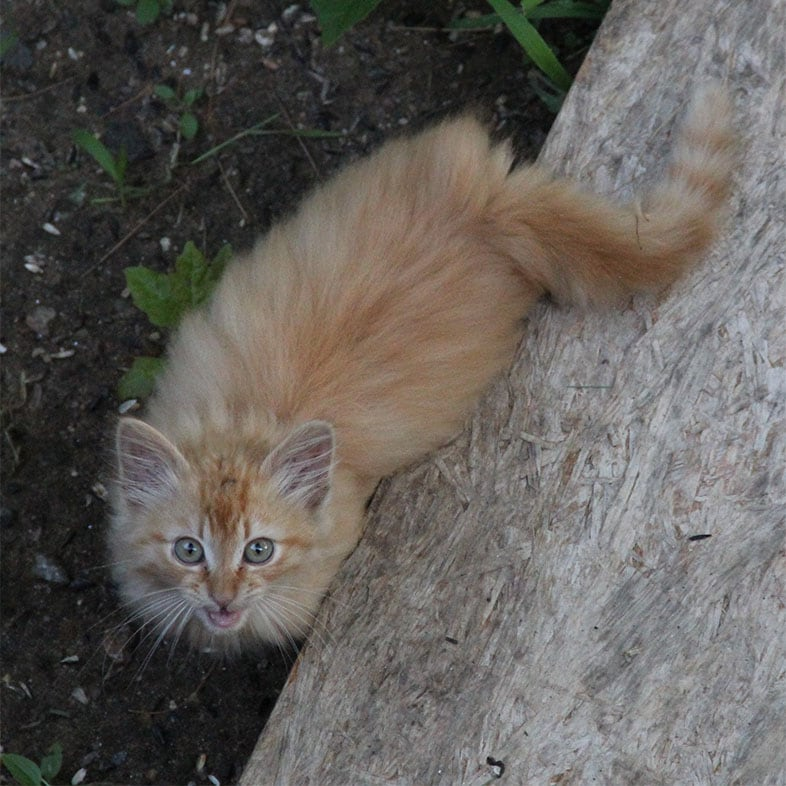 Red Tabby Cat Looking Up at Camera | Taste of the Wild