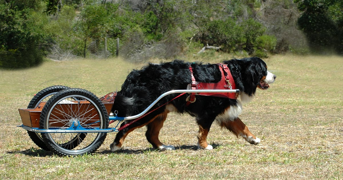 A Bernese Mountain Dog Pulling a Cart | Taste of the Wild