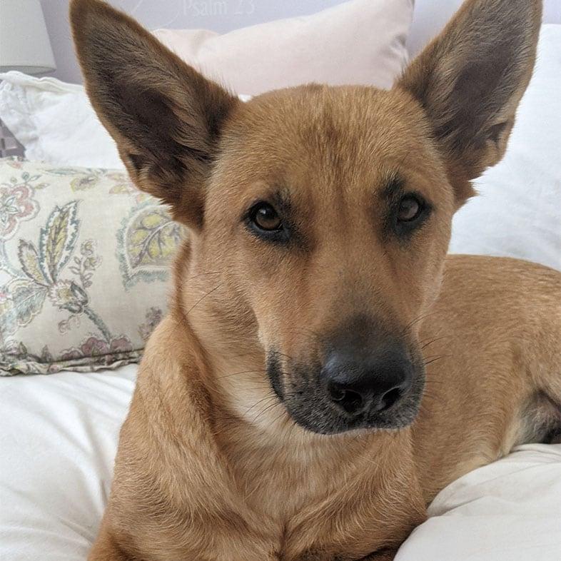 Carolina Dog Lying on Bed | Taste of the Wild