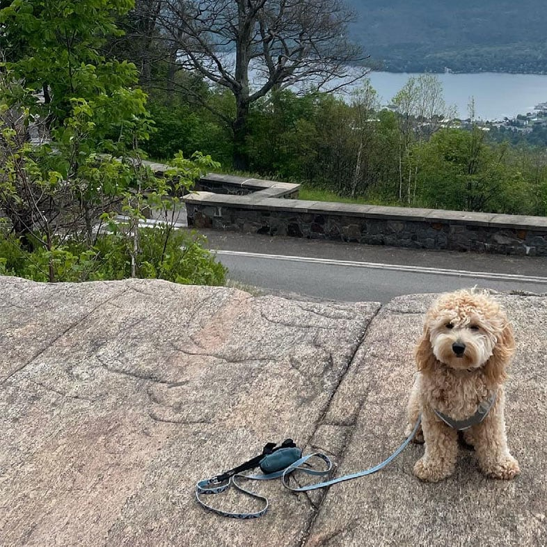Cavapoochon Sitting on a Rock Outside | Taste of the Wild