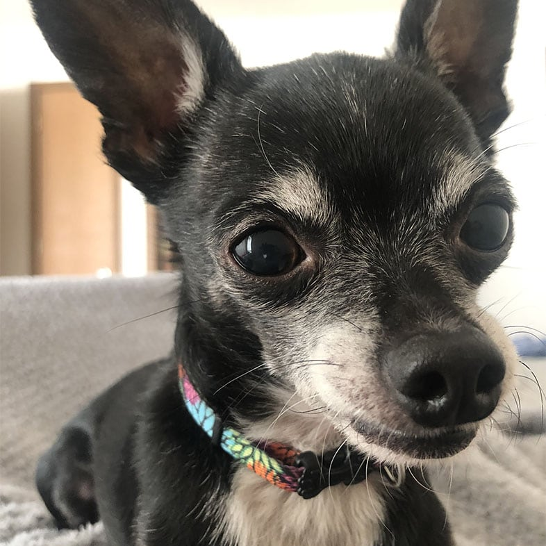 Chihuahua on Couch Looking at Camera | Taste of the Wild
