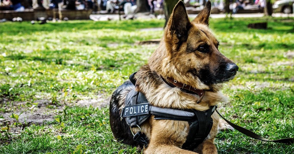 A K9 Police Dog Sitting on Grass | Taste of the Wild