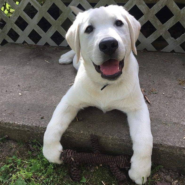 Labrador Lying on Concrete | Taste of the Wild