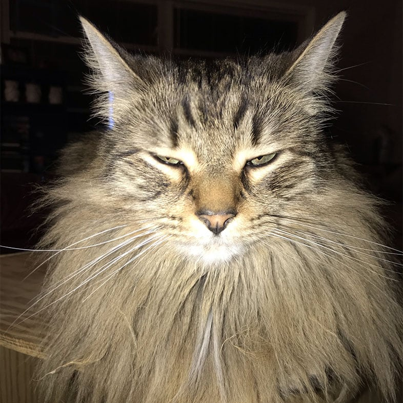 Maine Coon Looking At Camera | Taste of the Wild