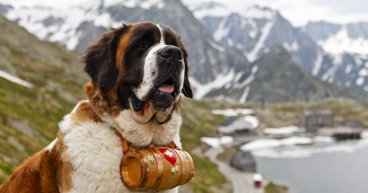A Saint Bernard with Mountains in the Background | Taste of the Wild