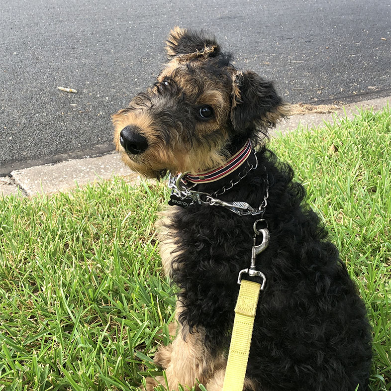 Airedale Terrier Looking Back | Taste of the Wild