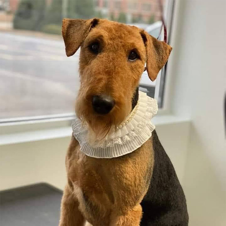 Airedale Terrier With Scarf On | Taste of the Wild