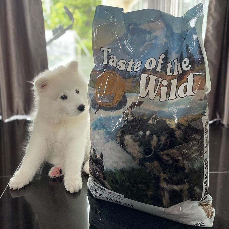 White Samoyed Looking at Taste of the Wild Food Bag | Taste of the Wild