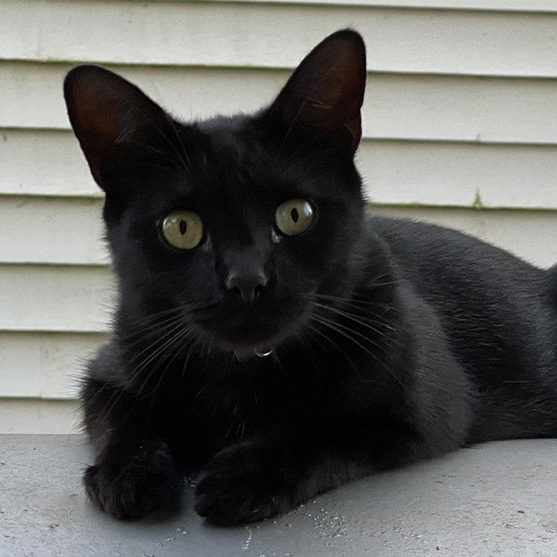 Black Shorthair Cat Looking at Camera | Taste of the Wild