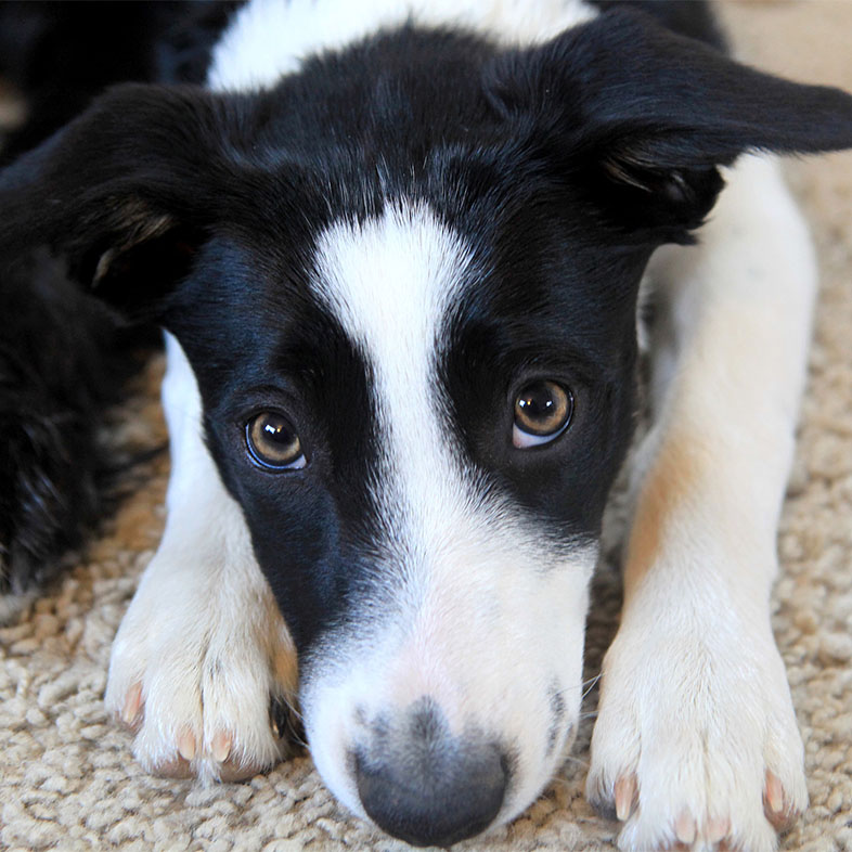 Border Collie Lying Down Looking at Camera | Taste of the Wild