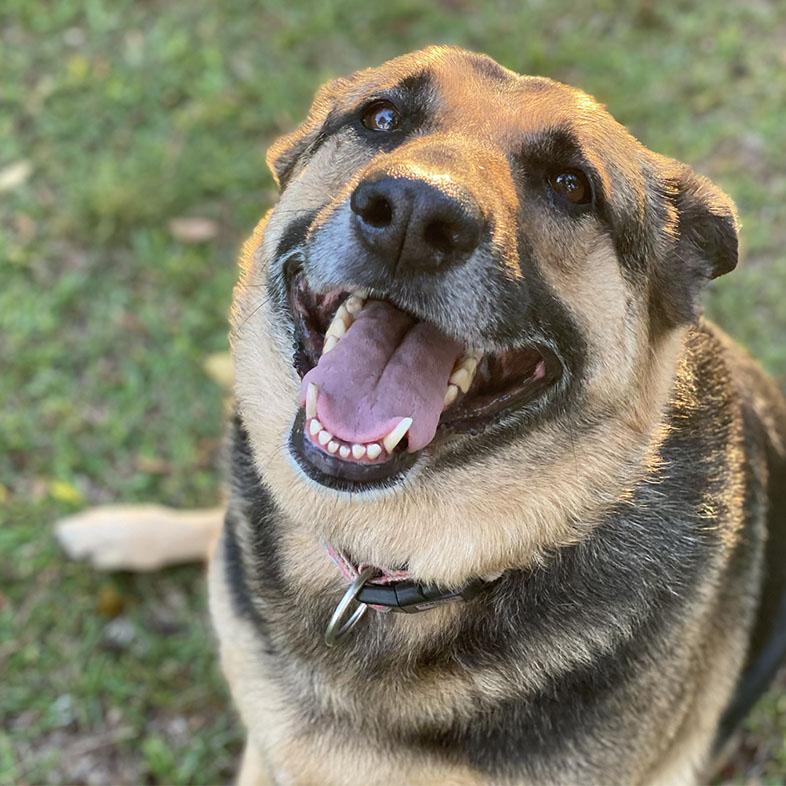 Smiling German Shepherd Looking Up | Taste of the Wild