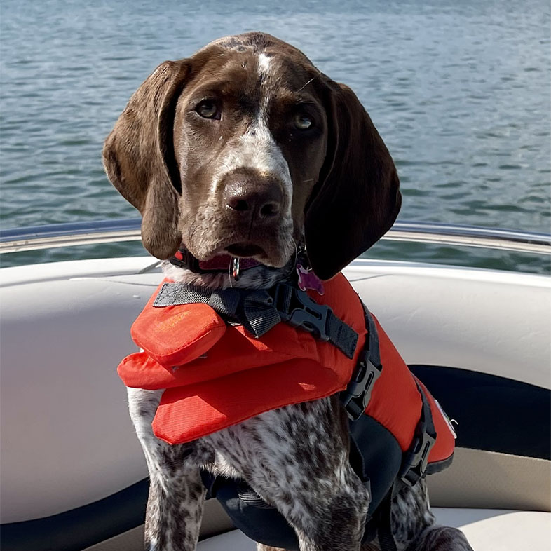 German Shorthaired Pointer with Life Jacket On | Taste of the Wild
